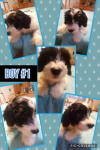 Ready To Go! Jackapoo Puppies!  Jack Russell Poodle Cross