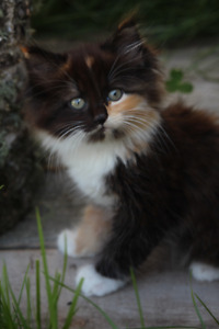 Super sweet, long haired, beautiful kittens and cats