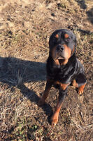 Proven pair of adult Rottweilers