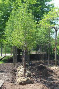 TREES AND HEDGING FOR SALE INCLUDING PLEACHED AND TRAINED TREES!