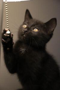 Handsome Little Black Kitten
