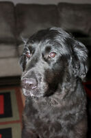 Northern Paws Animal Rescue: Male Retriever X