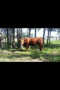 Registered 1.5 Year Old Red Simmental Bull