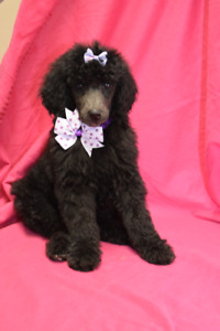 Standard poodle puppies PICS COMING SOON