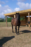 Registered Canadian Gelding