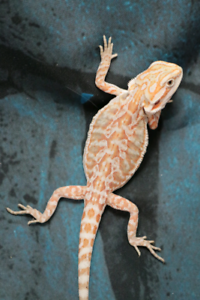 Bearded Dragons Hypo | Reptiles and Amphibians in Canada