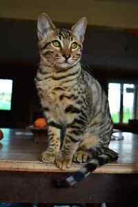 cat savannah & bengal