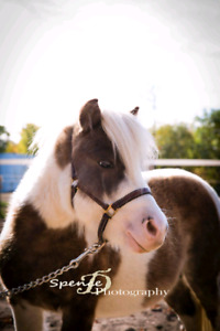 Mini horses  / show quality rehoming to loving homes