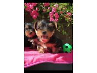 Mini yorkie Yorkshire terrier puppies