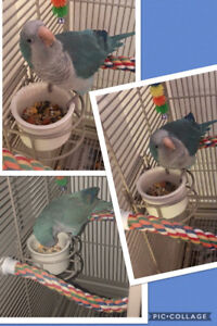 Beautiful Blue Quaker Parrot with Cage and Accessories