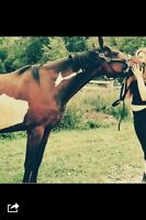5 year old gelding for sale