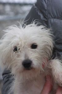 ADOPTABLE WEST HIGHLAND OR POODLE TERRIER TYPES VIA CARES