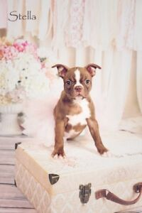 6 BeautifulRed Boston Terriers for Sale