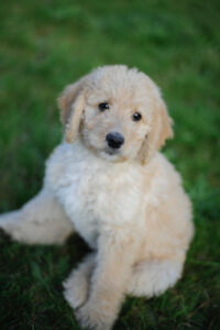 Adorable Labradoodle pups, f1b, hypo allergenic, low shedding