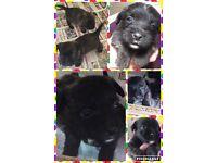 Border Terrier X Westie