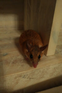 Egyptian Spiny Mouse