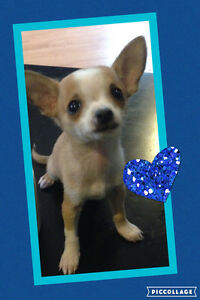 Little Male Chi 778-384-2081