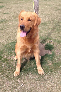FARM OR ACREAGE ONLY! Healthy 10 month old male Golden Retriever