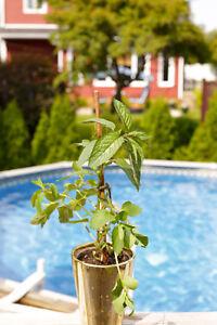 Plant de menthe