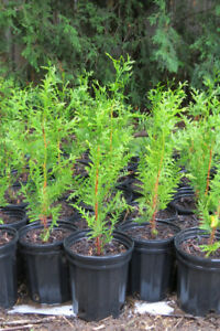 Western Red Cedar pot-grown trees for fall planting