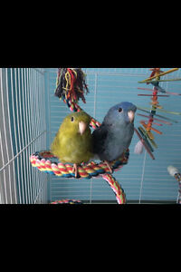 Two Male Green Edged and Cobalt Linnies + Cage