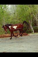 Gelding STB /quarter horse paint