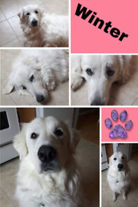 Winter - 2.5 year old Great Pyrenees