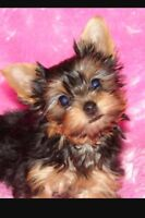 Teacup pure yorkie for sale 4168307929