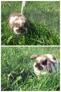 Holland Lop rabbits for sale!