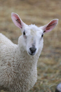 Blue Faced Leicester (BFL) and BFL X sheep+lambs for sale Fleece