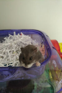 FREE - Hamster to a Good Home
