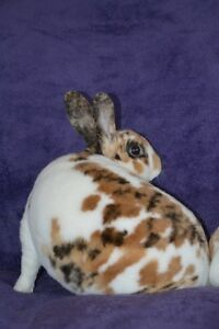 Herd Sell Out!! Mini Rex Rabbits