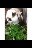1 year old lop bunny
