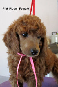 CKC Reg'd,  Red,  Standard  Poodle Puppies 8 weeks old
