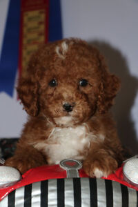 Beautiful Red Toy/Mini Poodles