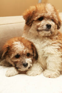 Beautifull Purebred Havanese  Puppies 1 Boy and 1 Girl