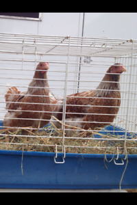 2 Splash laced Wyandotte pullets 5 months old