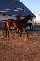 5 year old Thoroughbred Filly horse