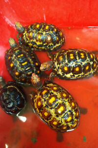 Marbled Cherry Head Tortoises