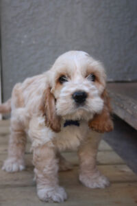 Beautiful Cockerpoo Puppy, Cream, White,  Gold Ears and Freckles