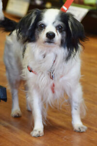 **ADOPT Domino - CAVALIER KING CHARLES is avail for adoption**