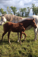 2015 Rose Grey Spanish Crossbred Filly (P.R.E x Arab)