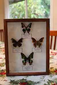 Framed Butterflies - Rare
