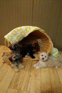 Shih Tzu / Poodle