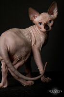 Sphynx Kitten Available!