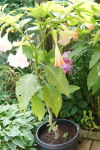 Angel trumpets plant, 5.5 ft tall. Pink flowers.