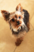 Teacup Yorkie Girl  3 lbs, looking for forever home