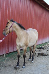 2016 AQHA Well bred Dun Filly