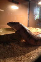 Blue tongue Skink looking for good home!