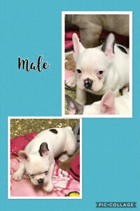 French Bulldog Puppies - Price reduced!